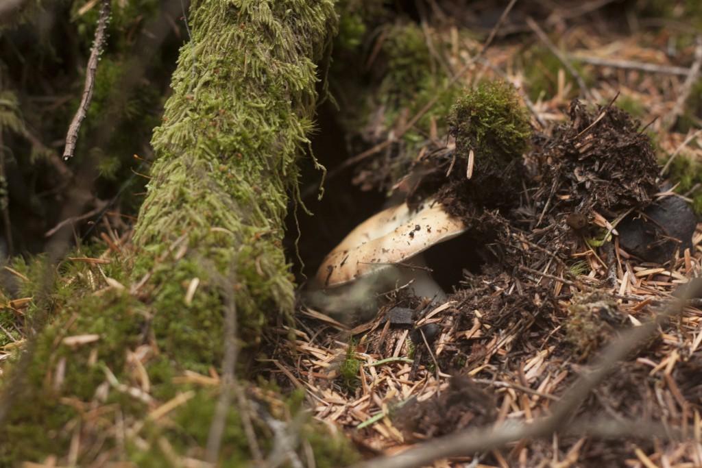 mycelia mushroom