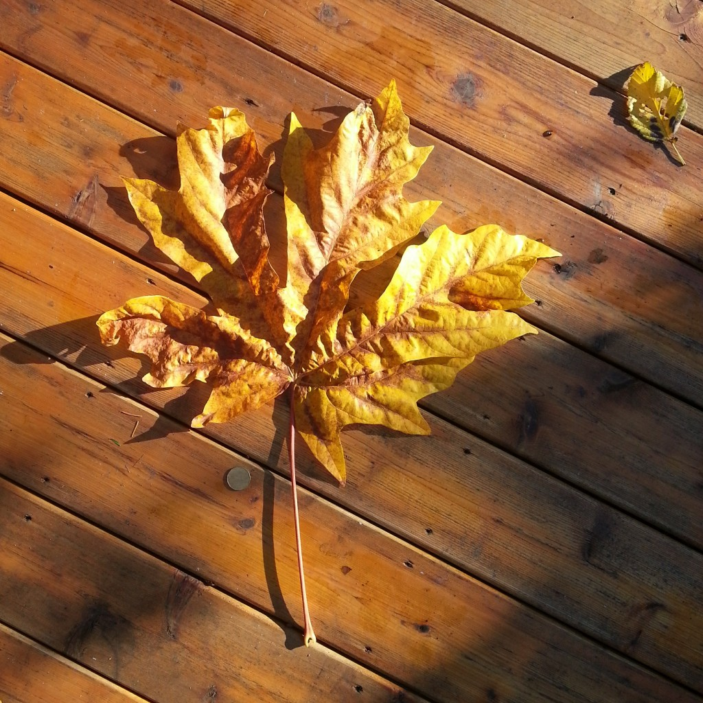 Maple Leaf by Ned Tobin