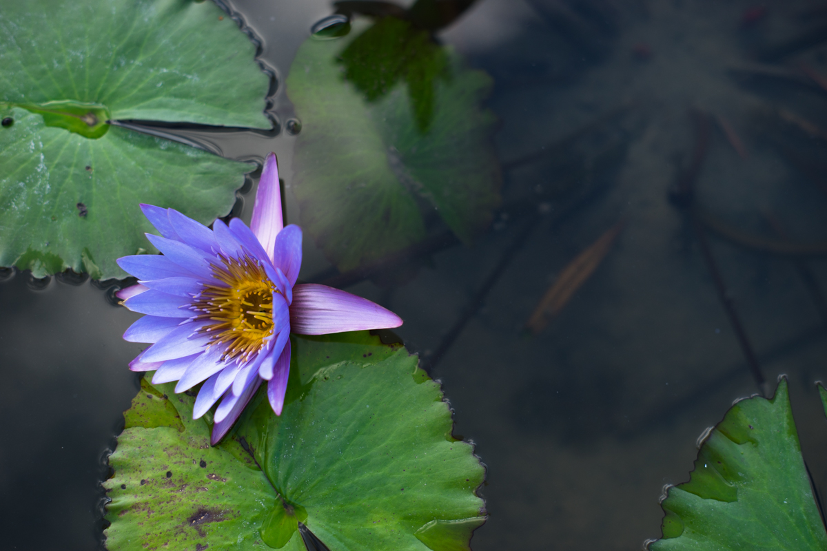 A lotus at Queen Sirikit Botanic Garden