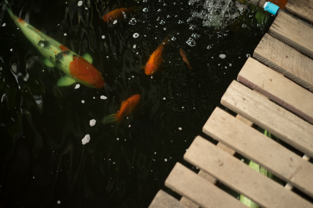 koi at Phu Thaya Coffee in Phayao